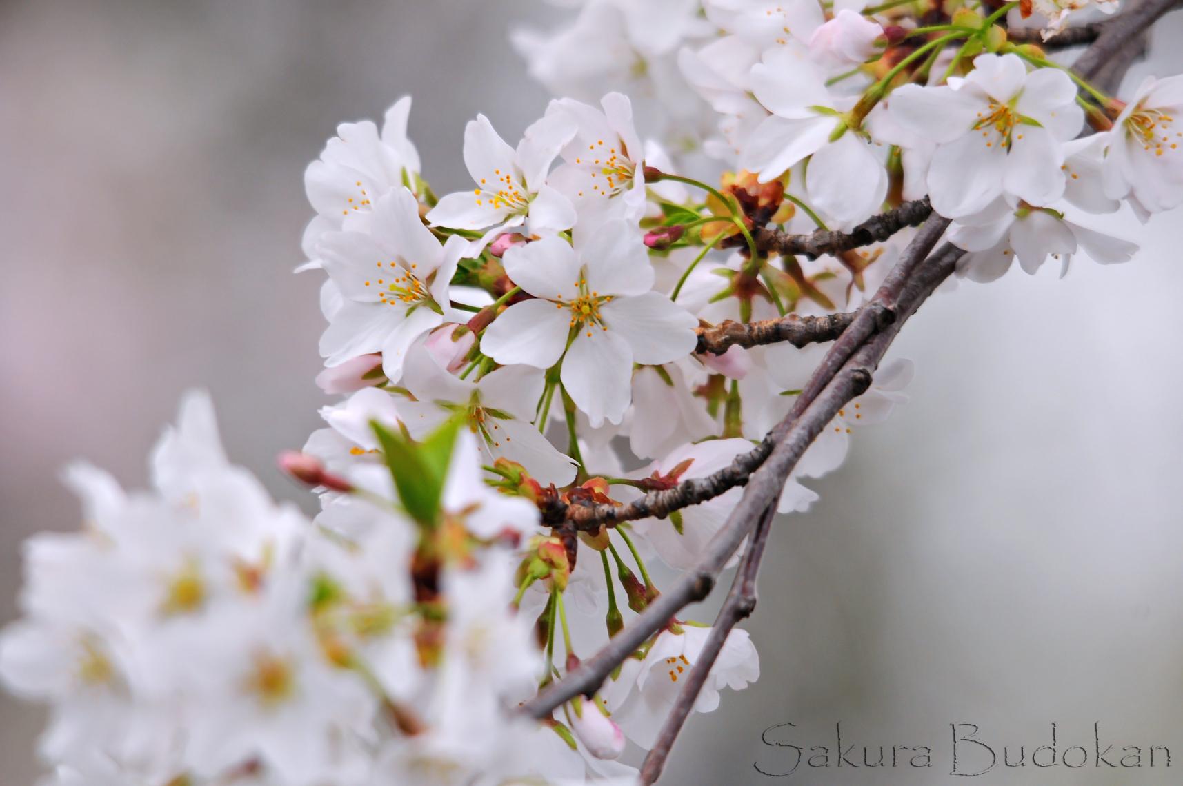 Sakura Budokan Tradition Martial Arts Instruction
